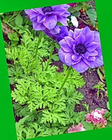 Анемона выращивание из семян когда сажать фото 7